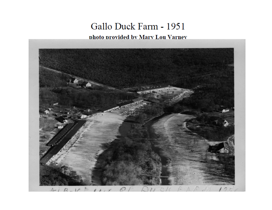 Aerial photo of Gallo Duck Farm circa 1951